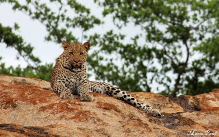 leopard-on-rock