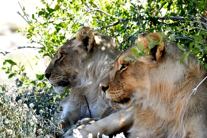 lion-etosha