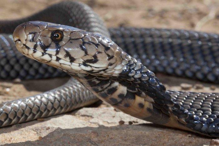 mozambican spitting cobra