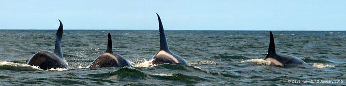 orcas-cape-town