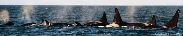 orcas-false-bay