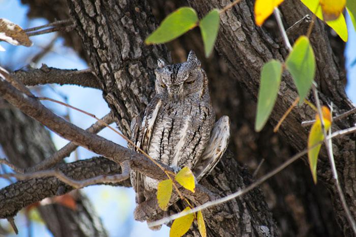owl-etosha