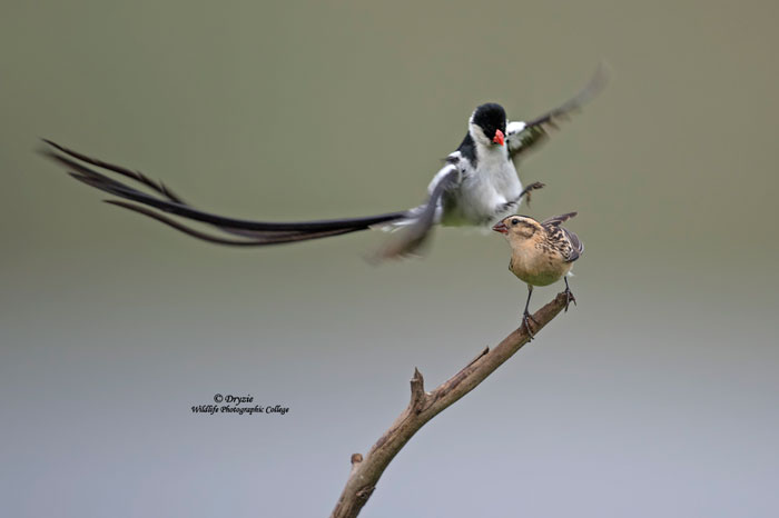pin-tailed-whydah-Dryzie