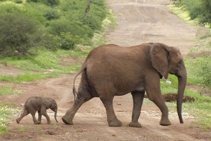 tuli-elephant