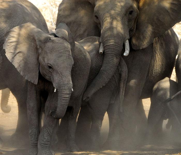 tuli-elephants