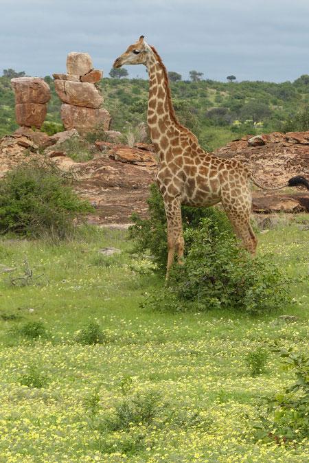 tuli-giraffe