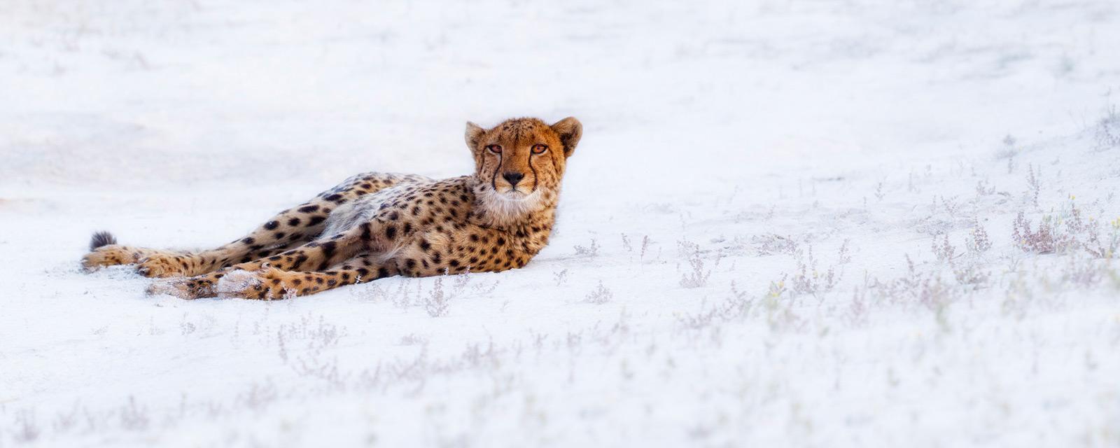 cheetah liuwa plains zambia