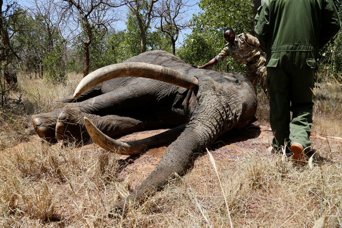 tusker poisoned