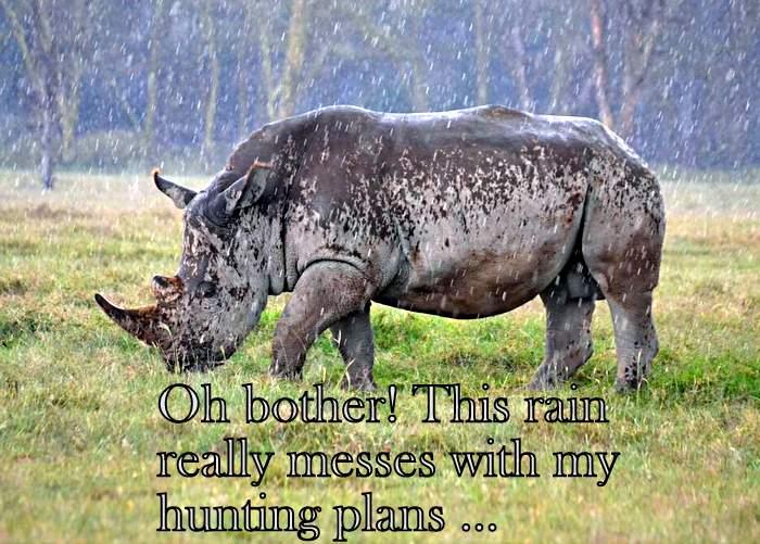 White rhino in rain