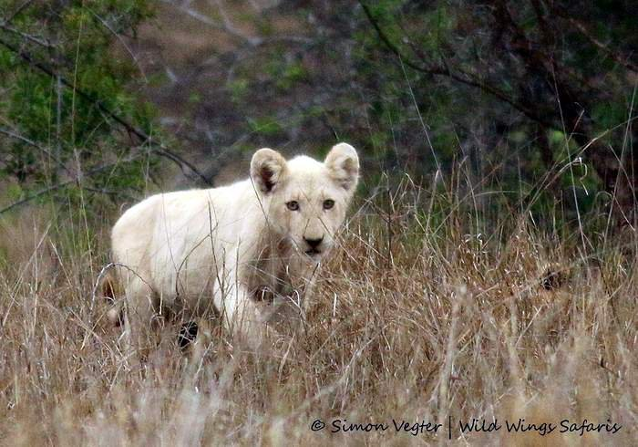 New white lions in the Kruger - Africa Geographic - photo#19