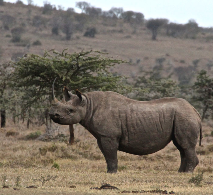 symbiotic relationship between oxpeckers and rhinoceroses evolution