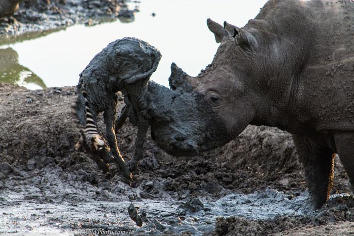 bull-rhino-and-zebra-foal