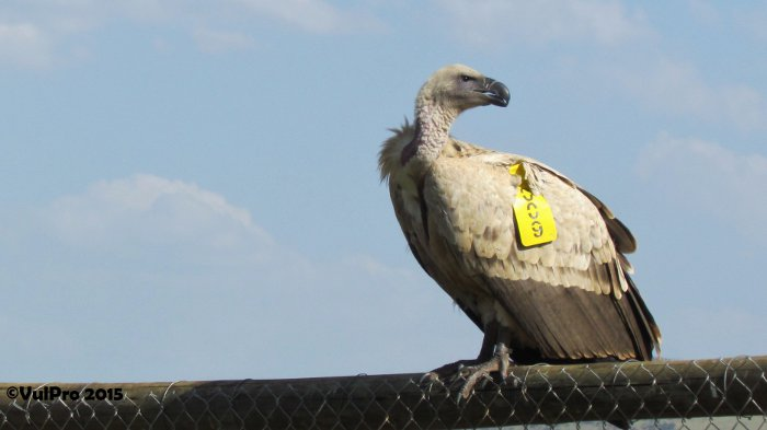 Cape vulture chicks at VulPro
