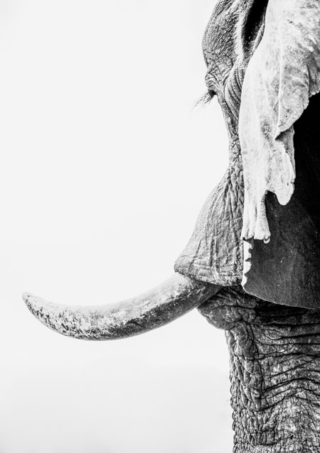 corlette-wessels_elephant