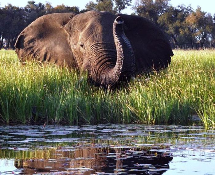 elephant okavango