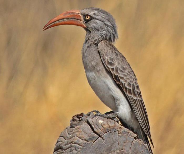 hornbill-moremi
