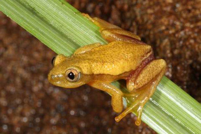 A NA Natal leaf-folding frog