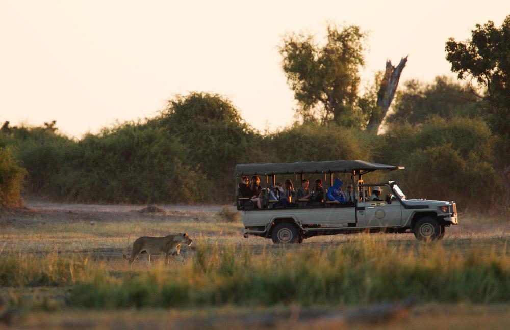 lion safari botswana