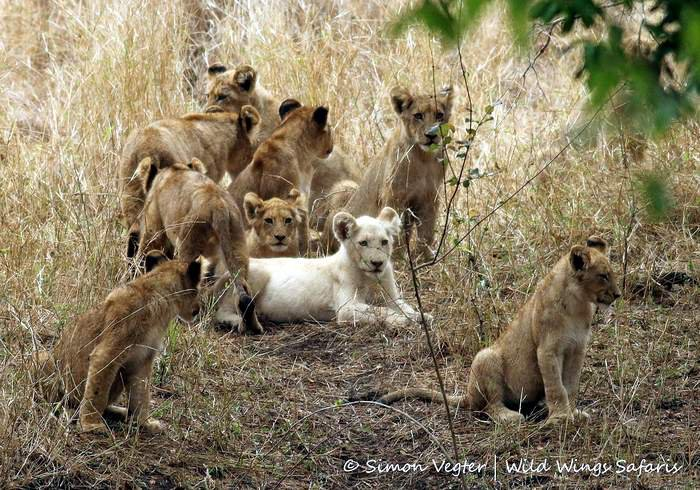 white lion cub sitting with normal-coloured siblings