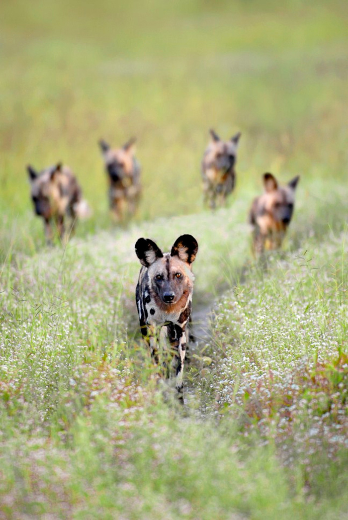 liuwa wild dogs zambia