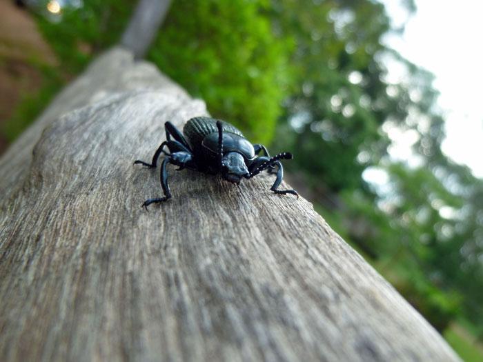 mount-mulanje-bug
