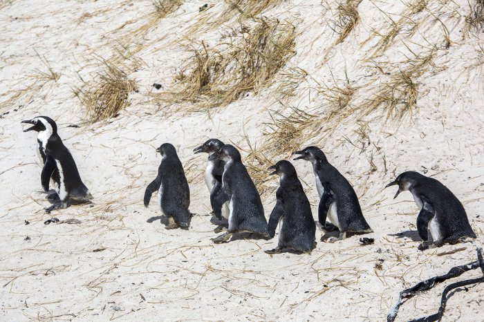 penguin release boulders beach