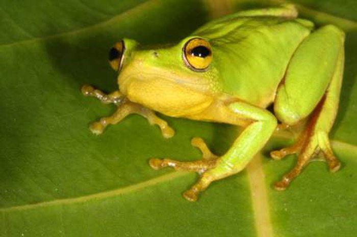 A Tinker reed frog