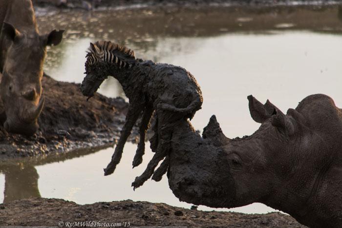 rhino-and-zebra-foal-madikwe