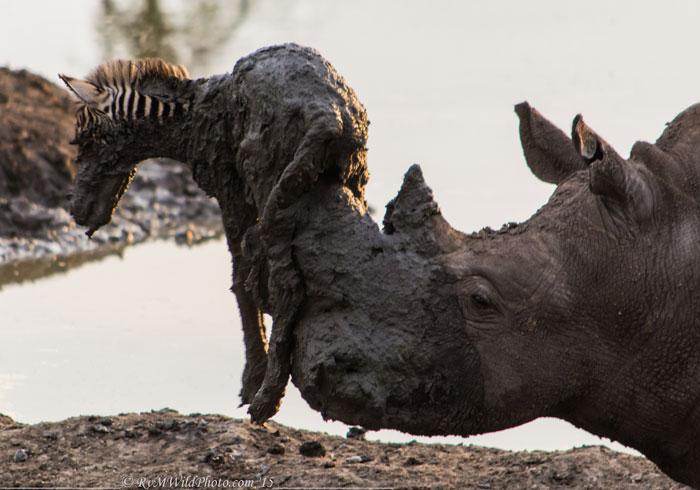 rhino-and-zebra-foal