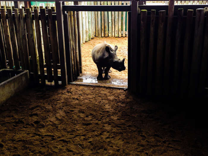 rhino-calf-orphaned-by-poaching