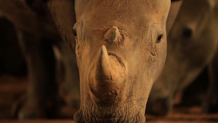 rhino-horn-STROOP film