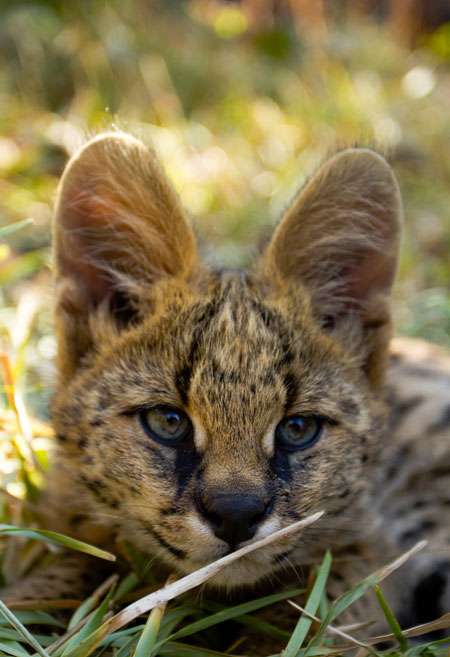 serval-cat