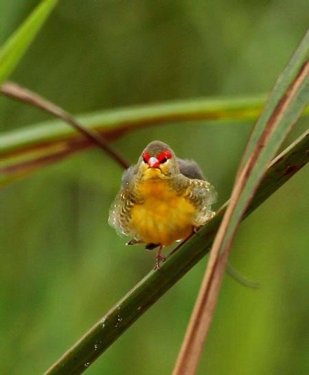 waxbill conservation