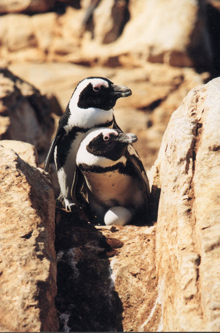 African Penguins on nest