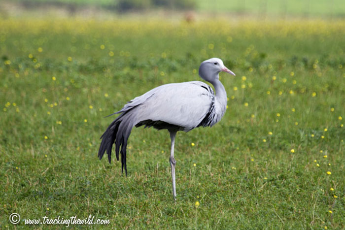 Saving The Endangered Blue Crane Do Your Bit Africa Geographic
