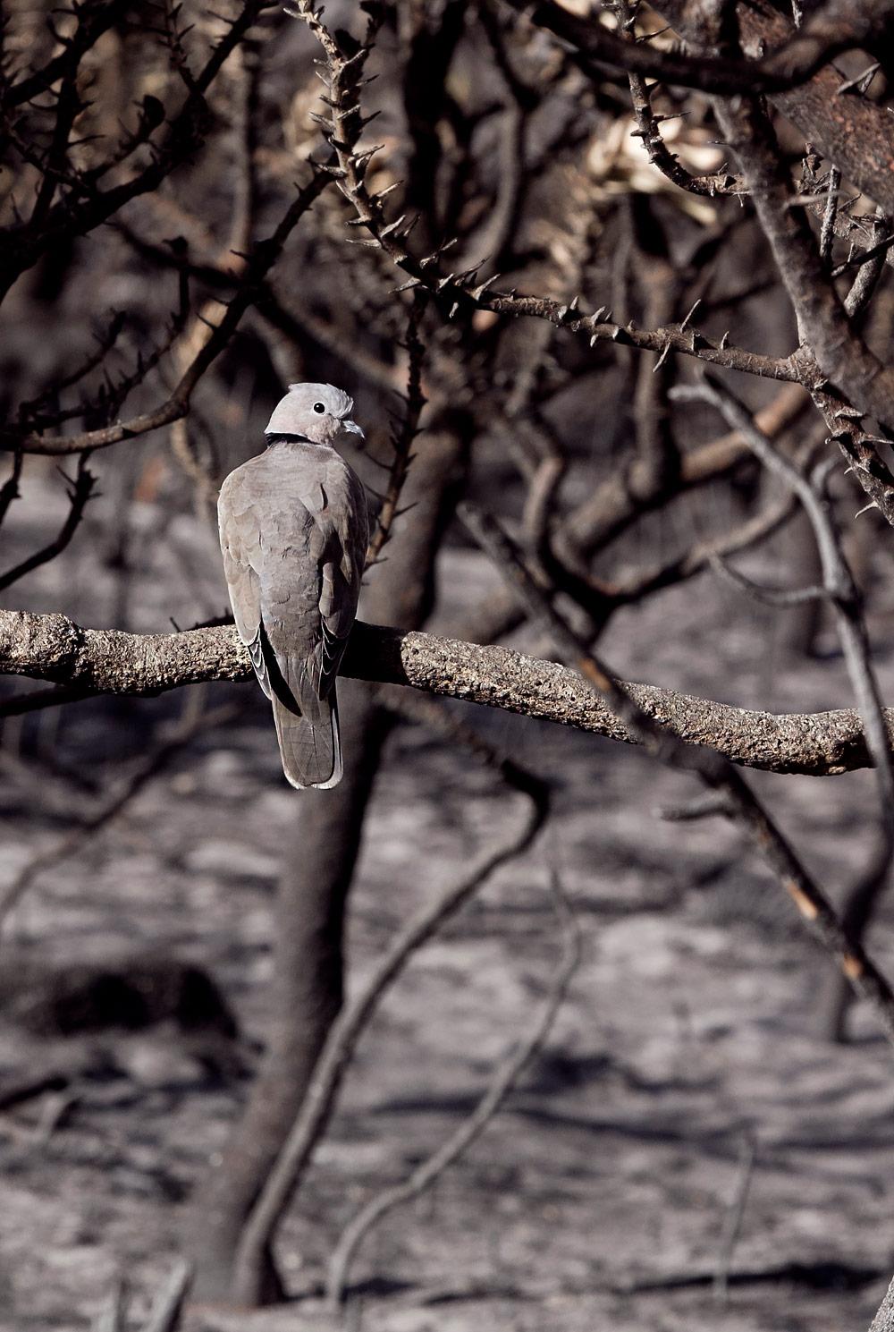 Cape-Turtle-Dove christian boix