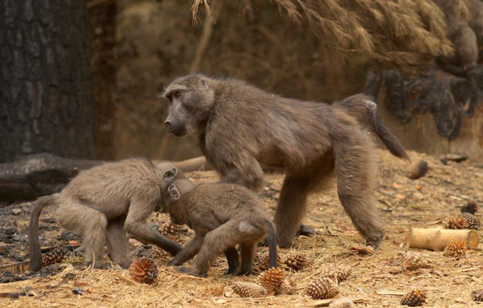 baboons Cape Town