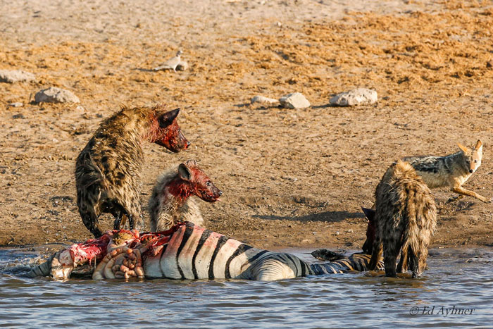 Hyena Attack on Zebra Food Chain