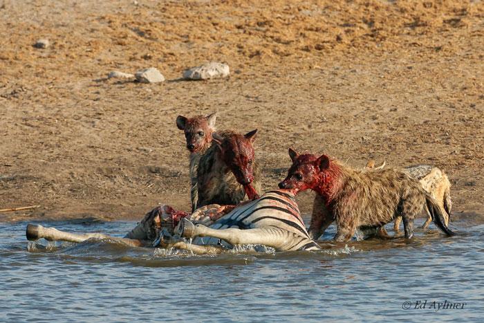 Hyena Kill on Zebra Food Chain