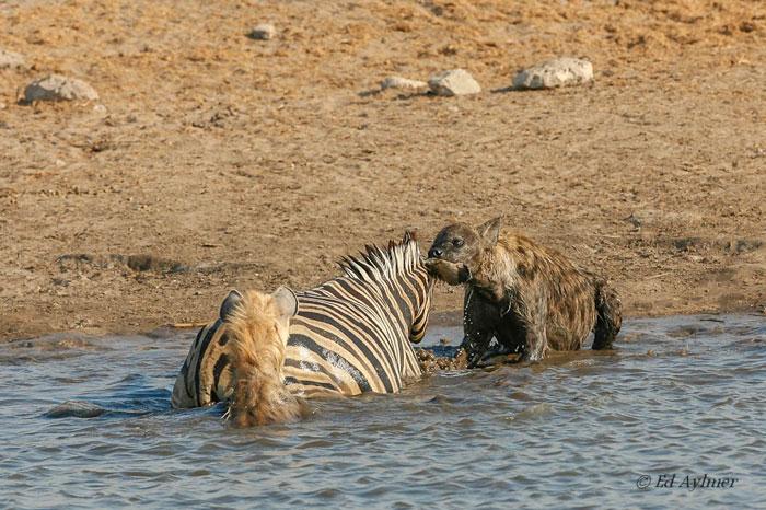 Hyenas Attack Zebra on Zebra Food Chain