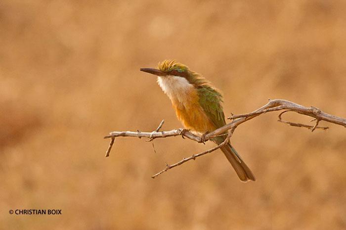 Somali-Bee-eater