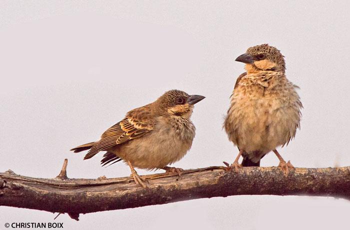 sparrow-weaver