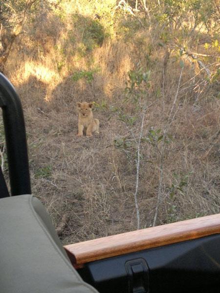 Thornybush game drive lion cub