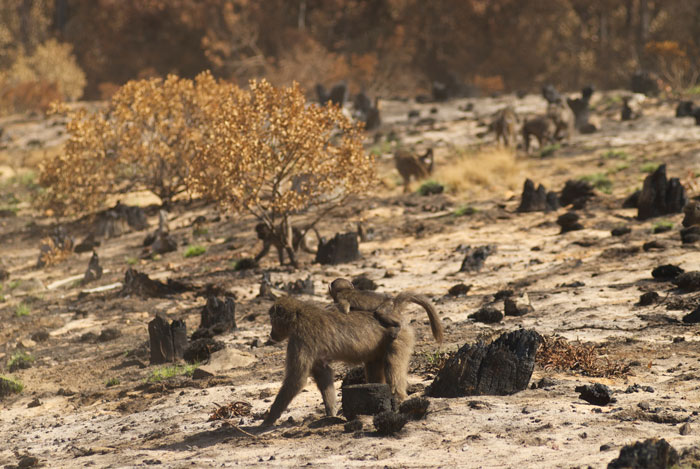 baboons cape fire