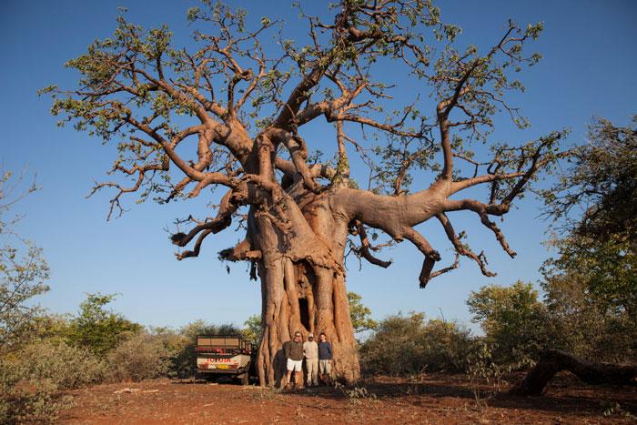 baobab-limpopo-lipadi
