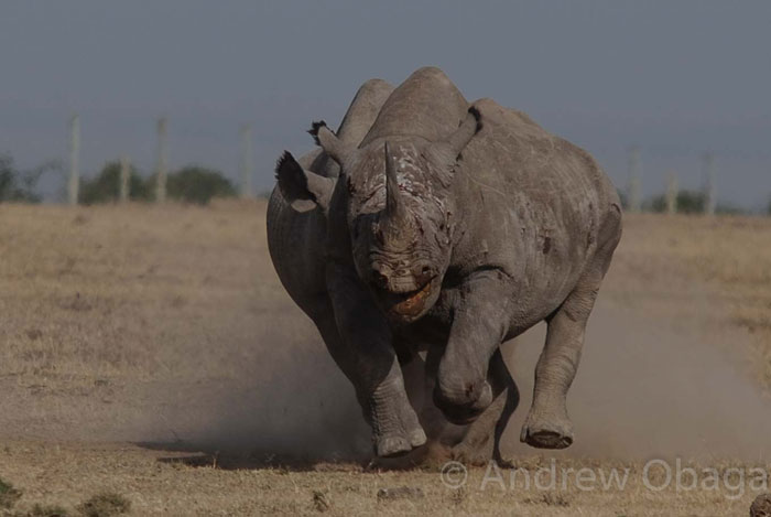 black-rhino-fight