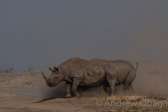 black-rhino-fighting