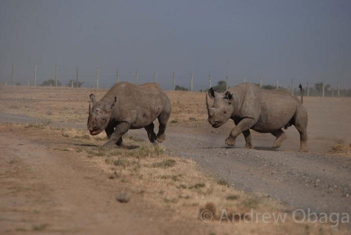 black-rhinos-fight