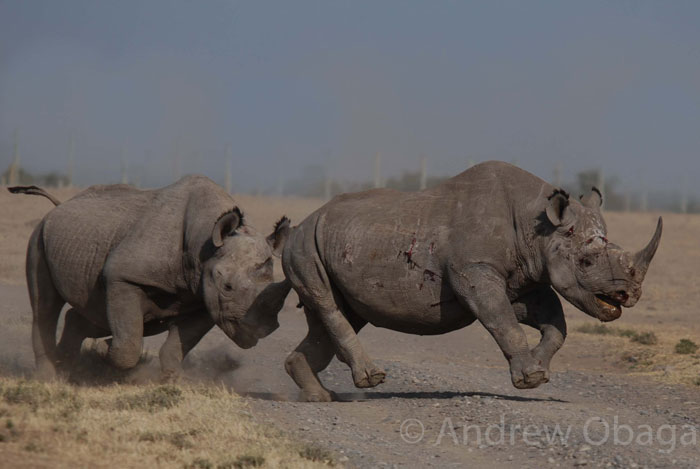 black-rhinos-fighting
