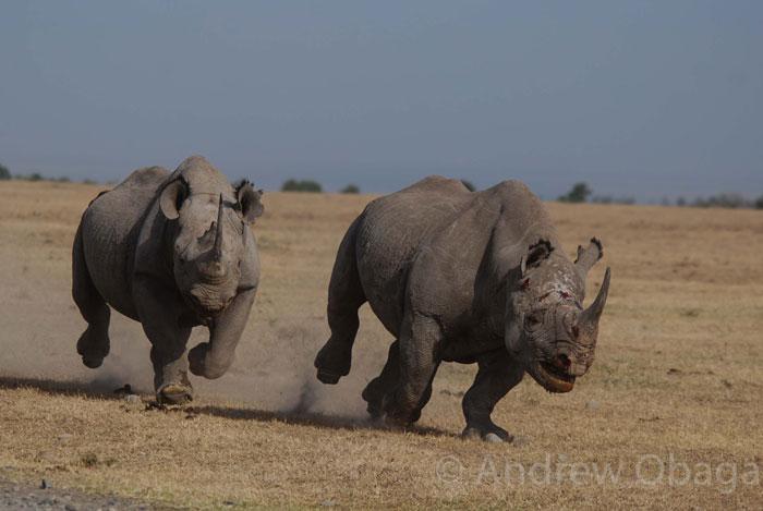 black-rhinos-running